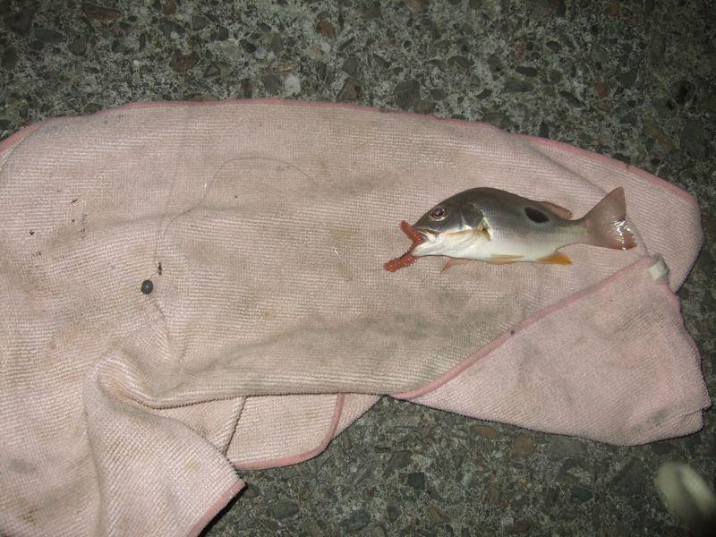台式倒吊組根魚釣感度測試
