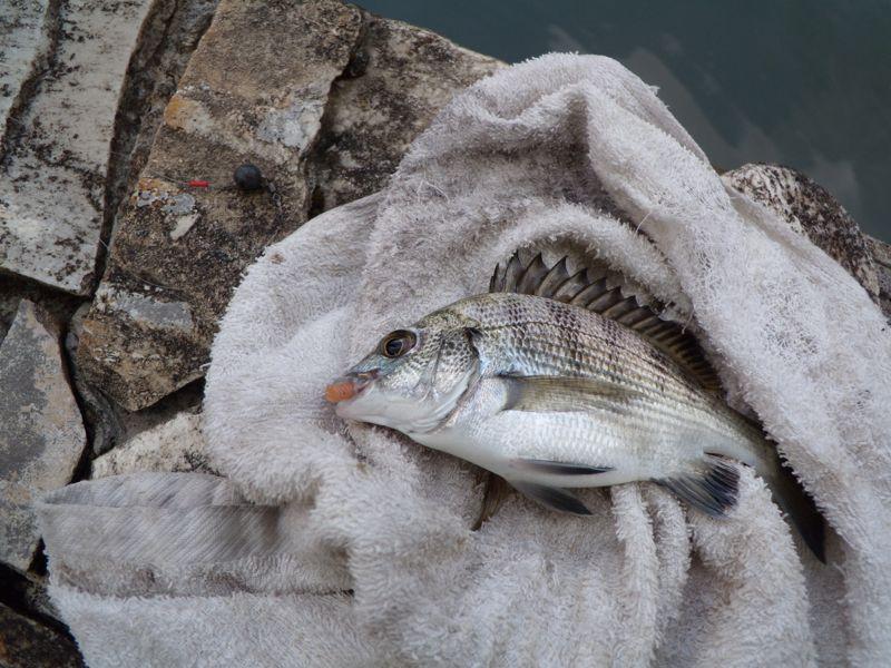 小黑鯛對應~ 鉤尖外露 Carolina 釣組測試